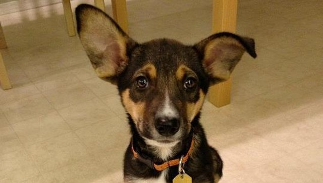 16 Puppies Who Will Grow Into Those Ears … Eventually