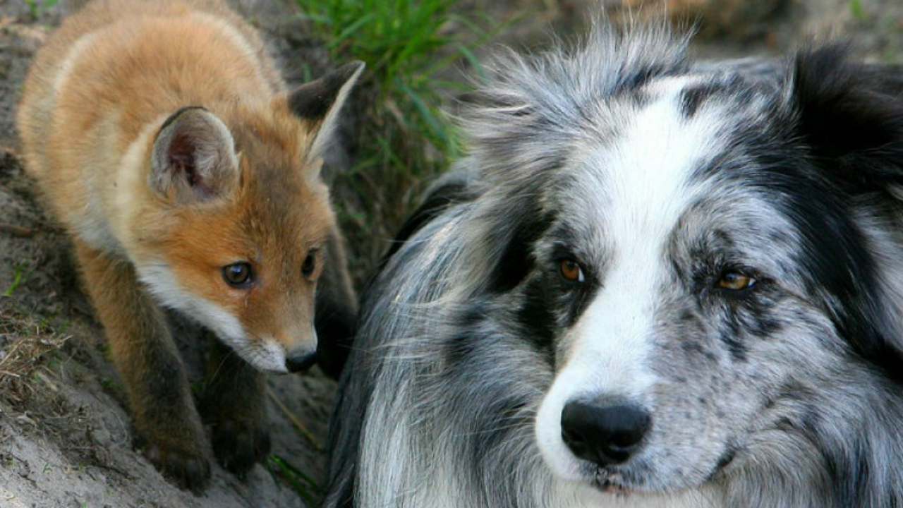 A Dog And A Fox Became Best Friends
